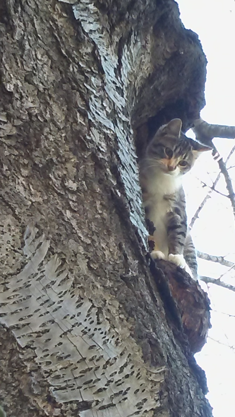 An adorable calico tabby sitting in a tree.