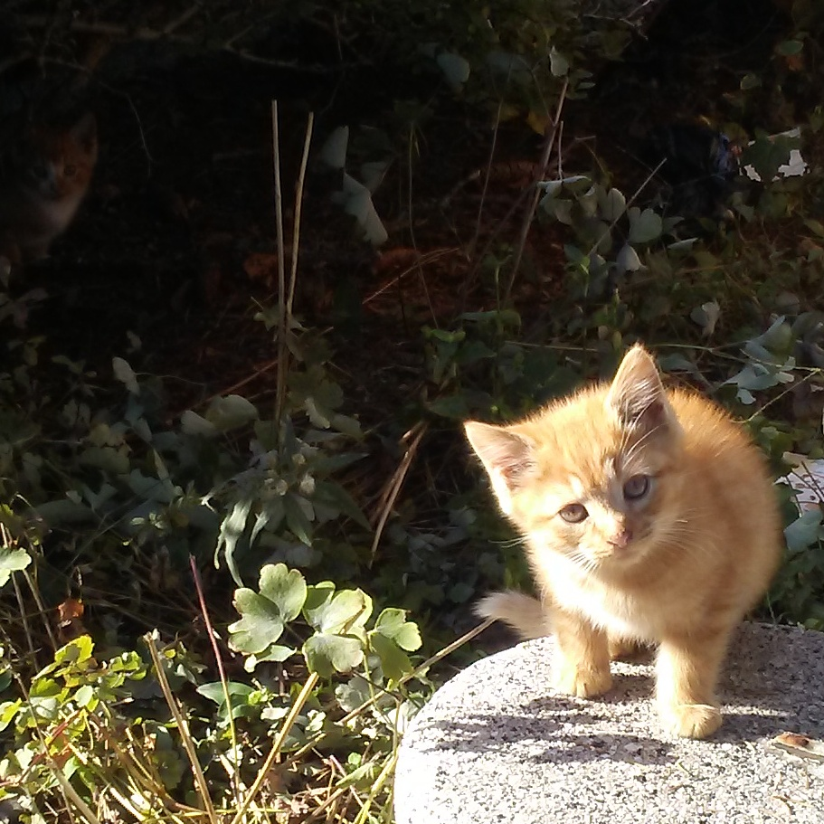 Sweet sunshine baby orange tabby kitten with her sister hiding in a hedge.
