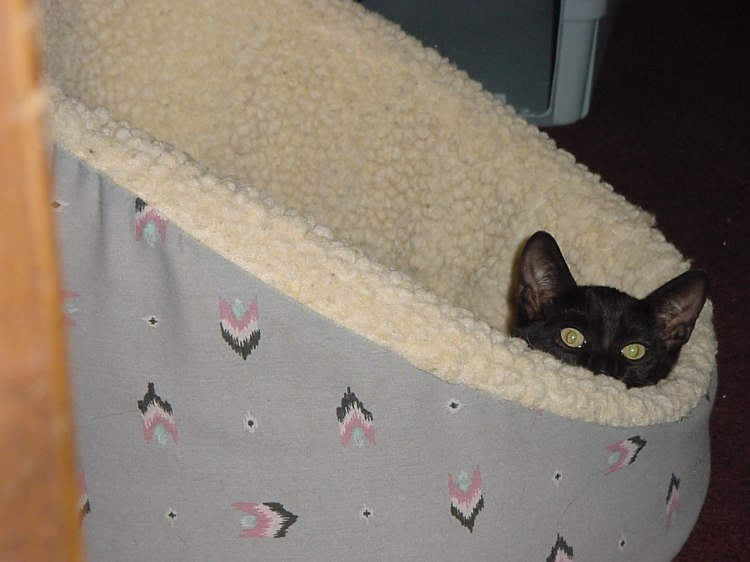 A black kitten pokes his head out of a large cat bed.