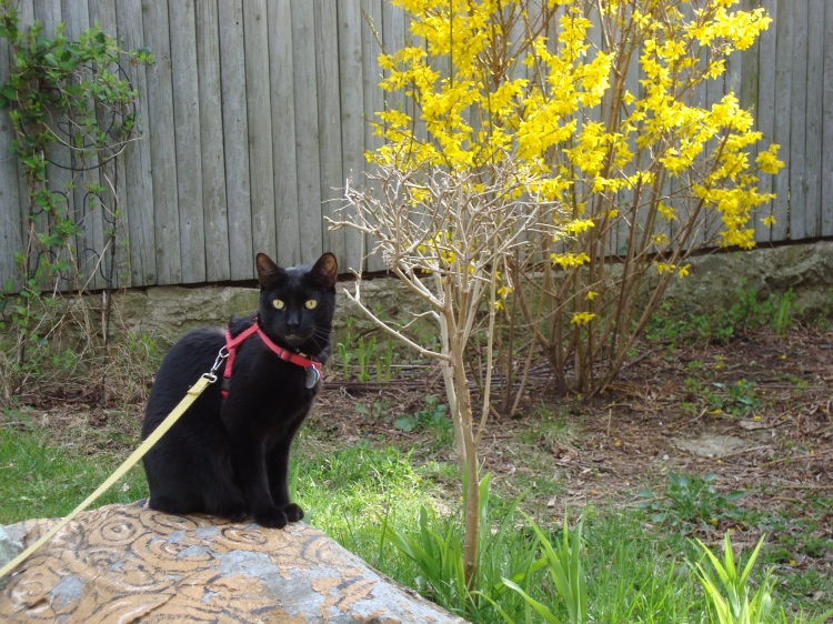 A black cat sits on a rock which is painted like a turtle in front of the yellow blossoms of a forsythia.