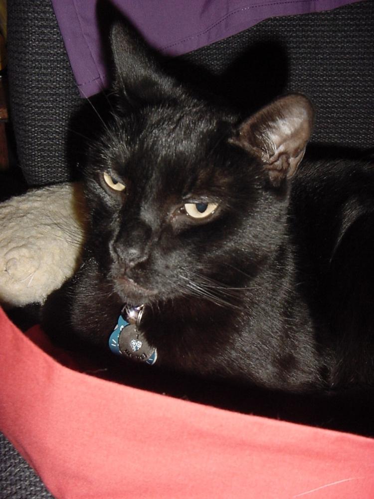 A black cat looking debonair.