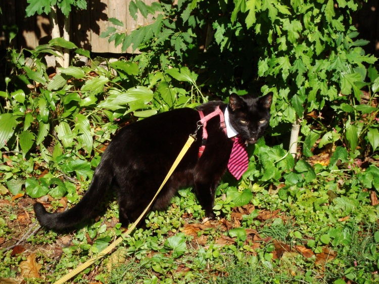 A black cat wearing a tie walks in a backyard.