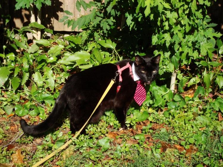 A black cat wearing a tie walks in a backyard.