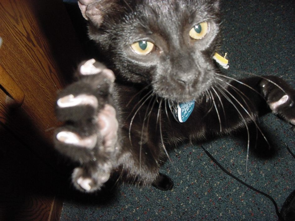 A black kitten pounces right on the camera.