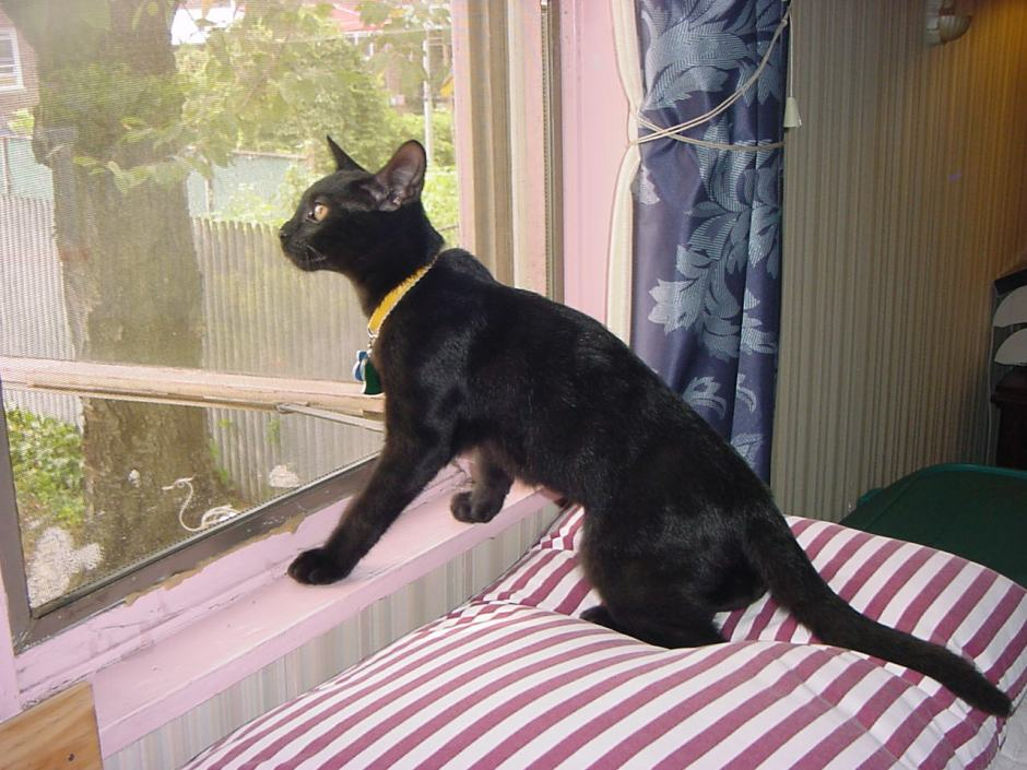 A svelte black kitten stands at an open window, looking up at birds in a tree.