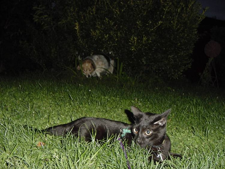 A black kitten stretches out in the grass, looking wild-eyed and ready to pounce on the dog behind him.