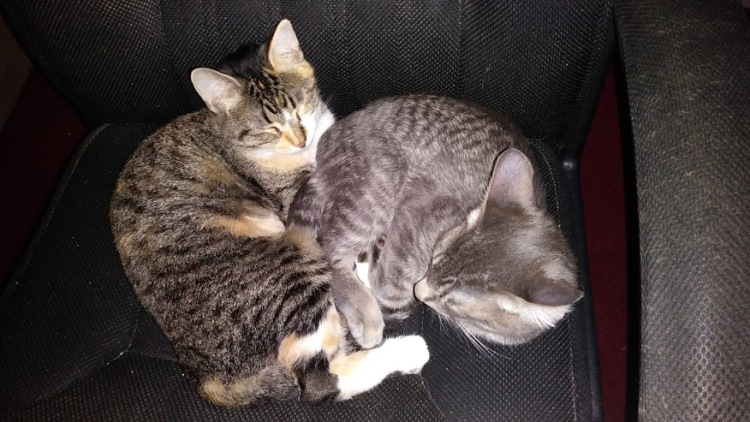 A mom cat and her kitten, who is just as big as her, curl up in a desk chair.