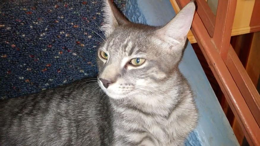 A silver tabby kitten looking majestic.