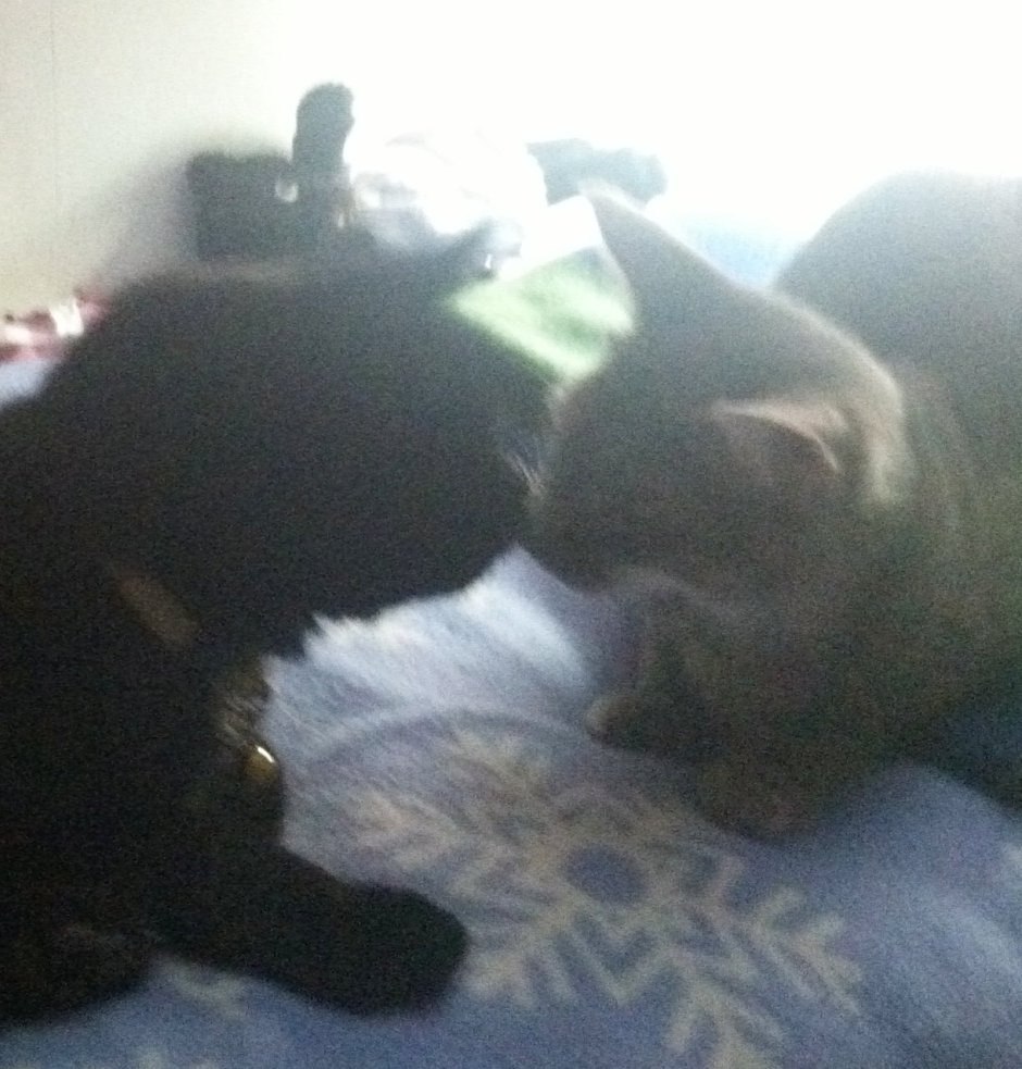 A black cat and young grey tabby give each other nose kisses..