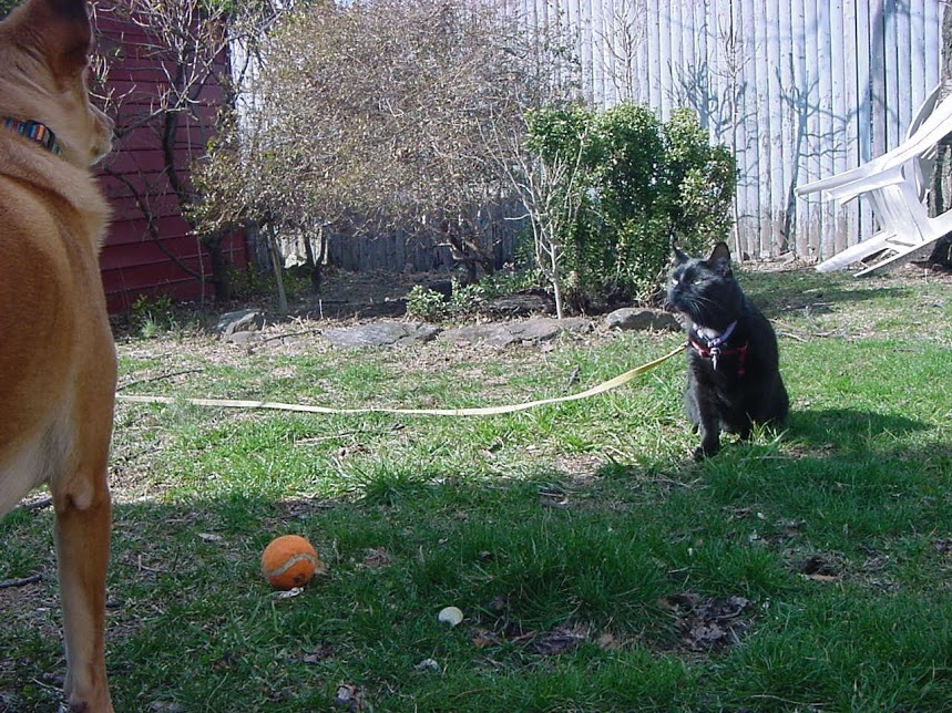 Real life Puppy has a stand-off with The Fluffy One over an orange tennis ball.