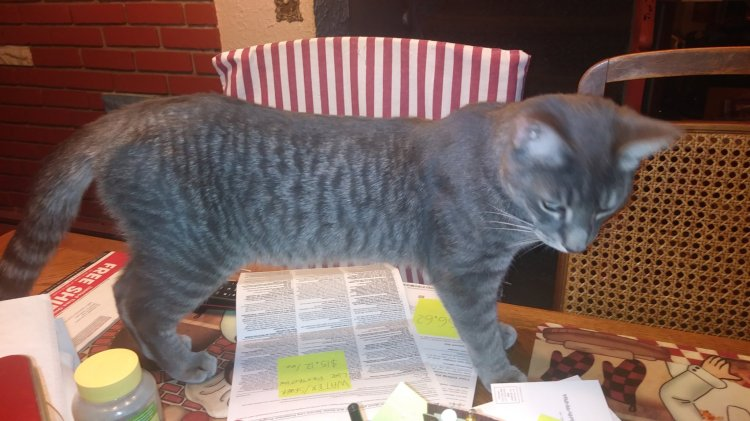 A photo of a grey tabby standing on a table over paperwork.