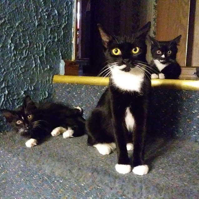 A tuxedo cat sits between two tuxedo kittens. They are all looking at the camera with their ears perked.
