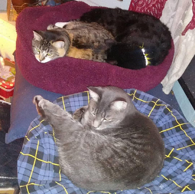 A photo of Babycat curled up in a cat bed with The Fluffy One, while The Kitten stretches out in another cat bed.