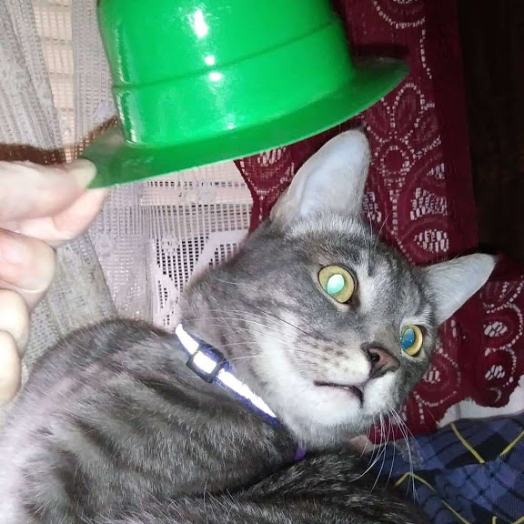 A silver tabby leans away from a green hat.