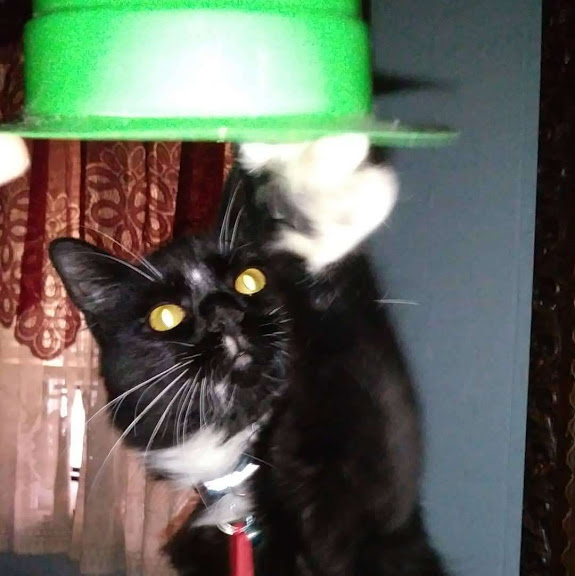 A fluffy black and white cat reaches for a green hat.