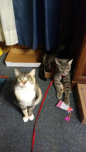Babycat, a calico tabby with a white chest and paws, looks up at the camera indignantly as her son, a long grey tabby, takes up her box and spills over, also looking a little pissed off.